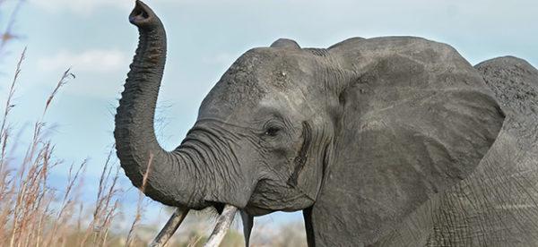 Les sons voyelles du français (L'éléphant)